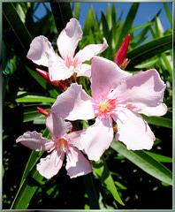 Blüten des Südens. ©UdoSm