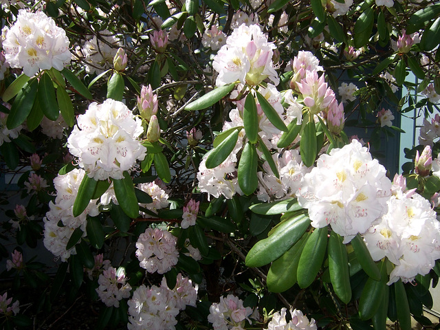 Rhododendrons #1