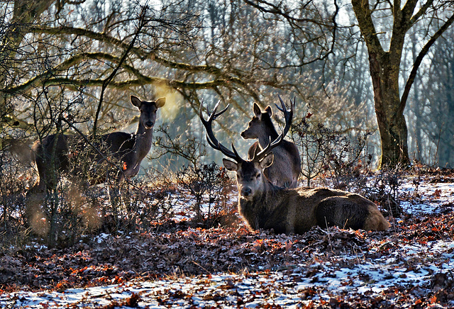 Eine Hirschgruppe im Hutewald - A group of deer in a wood pasture