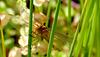 La libellule écarlate, (femelle)...