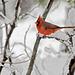1176404 DxOdcL · Cardinal