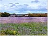 Flax fields