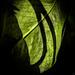 Angel's Ivy