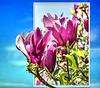 Purpur-Magnolie... ©UdoSm