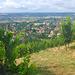 Weinberge bei Radebeul/Sachsen