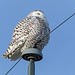 One of three Snowy Owls today