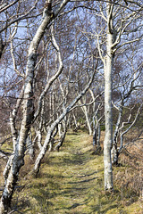 Raasay: No.1 Ironstone Mine tramway with silver birches