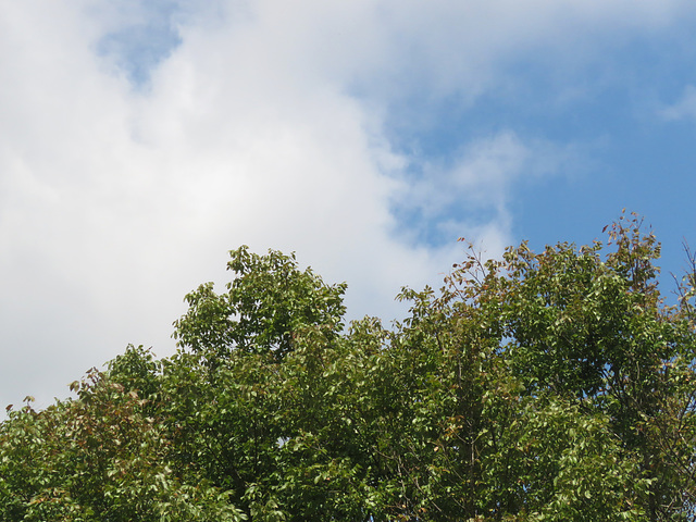 The White Ash tree ..