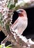 Nutmeg Finch