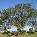 Lower Peninsula unhealthy tree.