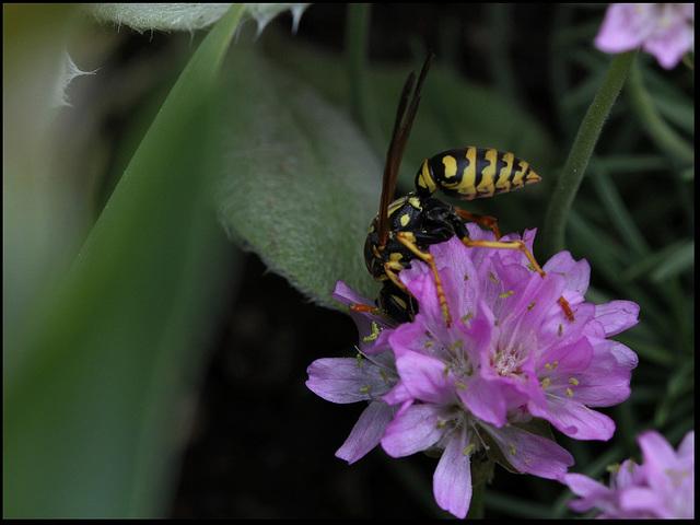 Polistes dominula (femelle)