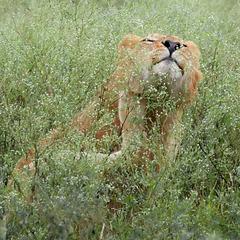 Lion Scratching