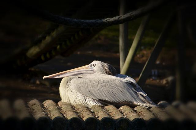 Pelican at Seaview Wildlife