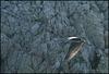 5251 IpernityBirds 2008 S 1355 Sup3 07 ipernity 17.IX.2008. - The grey heron (Ardea cinerea) Siva čaplja