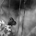 Champêtre : Camomille et papillon