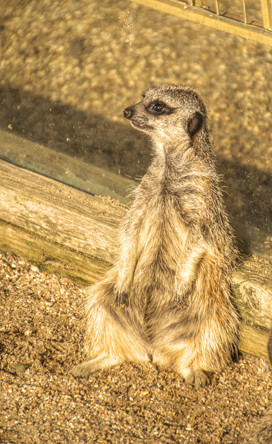 Meercat soaking up the afternoon sunshine