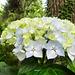 Tiempo de hortensias en mi jardín (2).