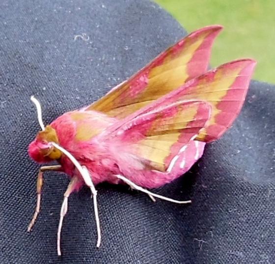 W like WHAT a pretty moth