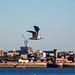 Gull in flight44