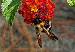 Bee on lantana.   A048502