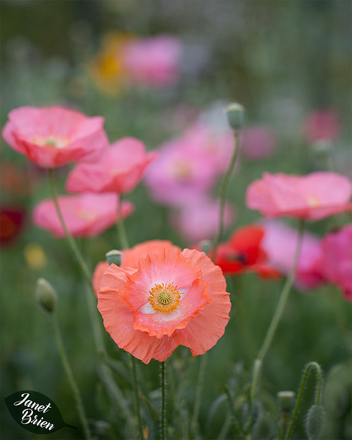 14/366: Lovely Poppies