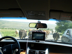 Making way through the herd.