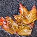 1 (17)...austria autumn herbst blätter leaf..wet