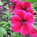 Petunia Beauty (Explored)