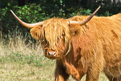 Muckle Coo