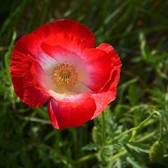 Whitby Poppy (Iceland Poppy)