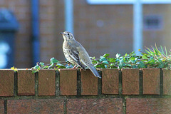 Thrush on the wall:)looking for berries:)