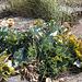 20140907 4875VRAw [NL] Gelber Hornmohn (Glaucium flavum) , Pflanze, Terschelling