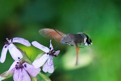 Der Kolibri, der ein Schmetterling ist - The hummingbird that is a butterfly