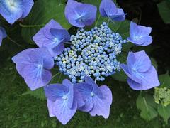 Hortensia Blue Bird