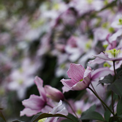 May 16th: Clematis