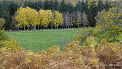 Birches in their Autumn colours