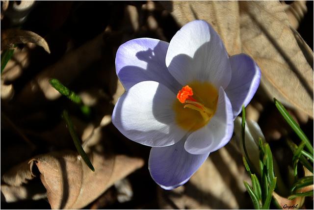 La 1ere petite fleur sauvage de 2015 ...