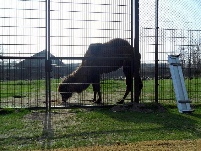 kameel met tegenlicht