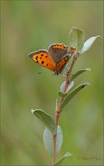 Small copper ~ Kleine vuurvlinder (Lycaena phlaeas)..