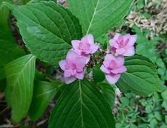 Hydrangéa serrata