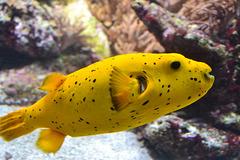 pez limón