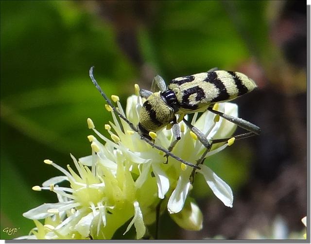 Chlorophorus varius butinant.