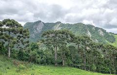 Tropical Coniferous