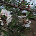 Almond tree, first bloom