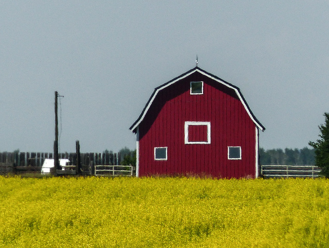Red barn in a field of gold