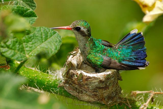 Colibri du Brésil