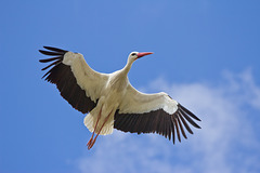 En vol la Cigogne blanche a le cou tendu à l'horizontale