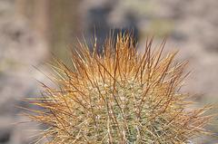 Bolivia, Isla del Pescado (Fish Island), Solid Needles of Young Cactus