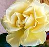 Rose 'Guy's Gold'