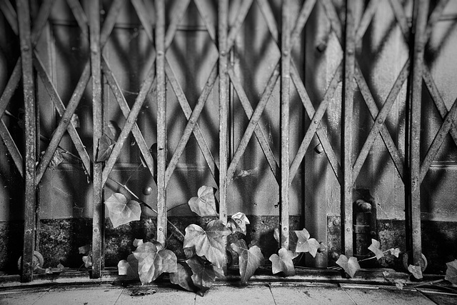 Fence with ivy HFF